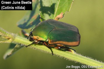1 Green June Beetle 2007 2 ADJ